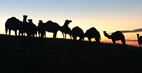 Camel Milk NSW